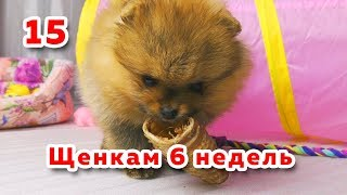 🐾 Щенкам 6 недель. Шпиц пробует сушеную трахею. Как приучить собаку к пеленке. Щенок играет.