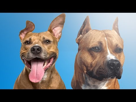 Diferencias Entre Pitbull y American Stafforshire Terrier - DIFFERENCE