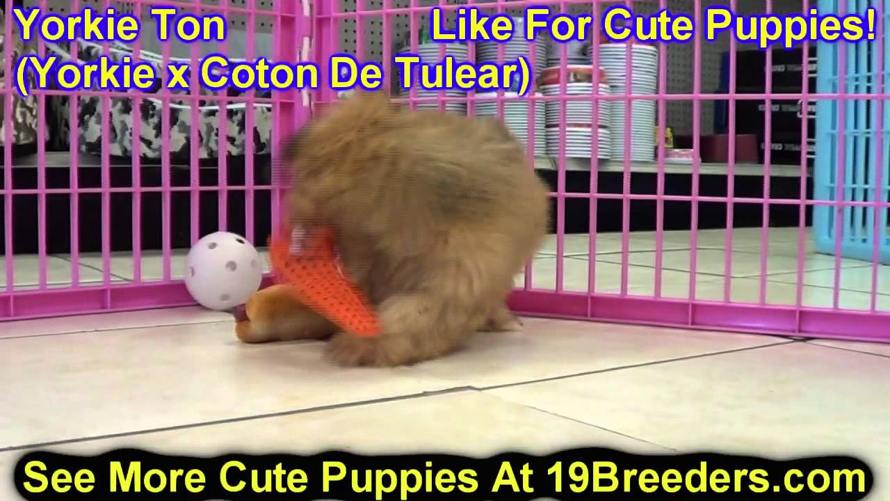 Yorkie Ton Puppies Dogs For Sale In Denver Colorado Co