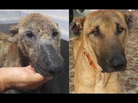 Final update on a rescued dog with health and skin issues - Behrooz