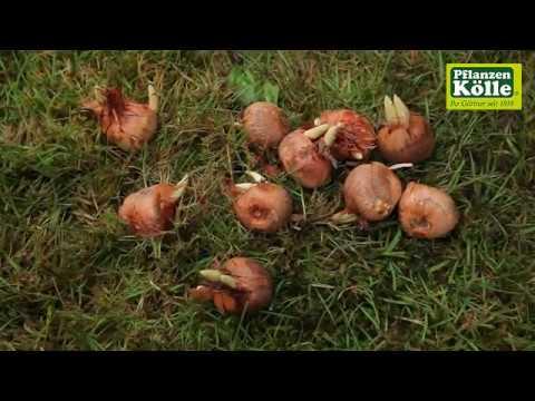 krokuszwiebeln-einpflanzen- -pflanzen-kölle