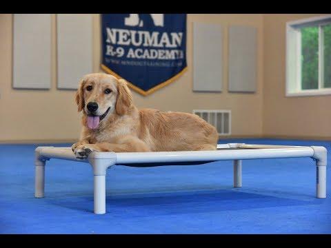 Callie (Golden Retriever) Boot Camp Dog Training Video Demonstration