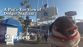 A Pug's-eye View Of Dodger Stadium