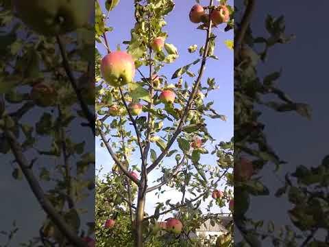 Сорт яблони Мантет.