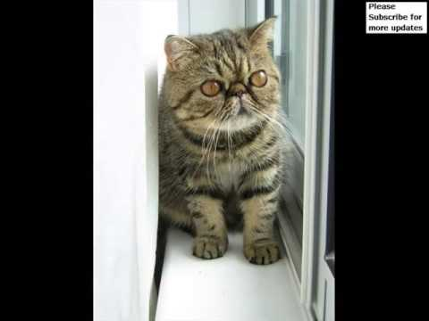 Exotic Shorthair Munchkin | Collection Of Cat Pictures