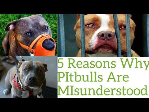Top 5 Reasons Pitbulls Are Misunderstood!!!