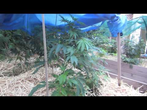 Grow Cannabis – Jorge's Garden Day 5 – by Jorge Cervantes