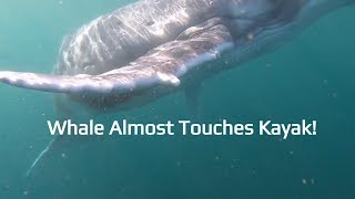 Baby Humpback whale plays with my kayak.