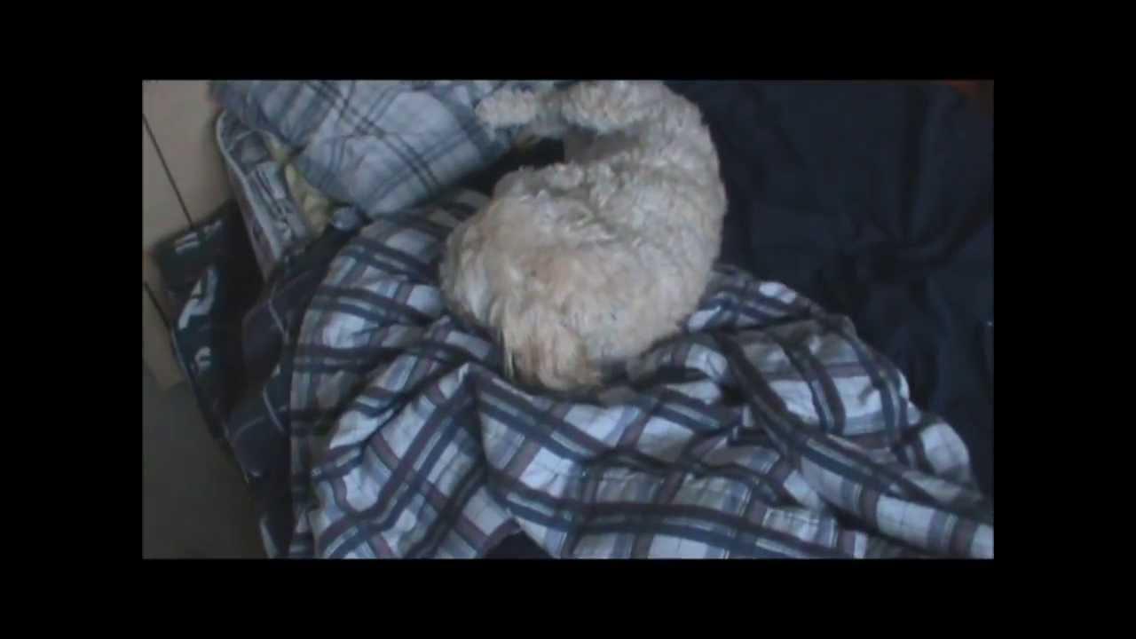 My Shih Tzutoy Poodle Cross Youtube