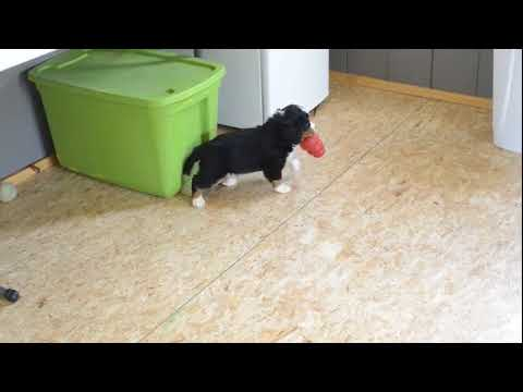 Miniature Bernese Mountain Dog