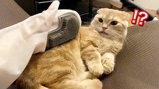 短足猫を手袋ブラシで撫でてみた反応がこちらw