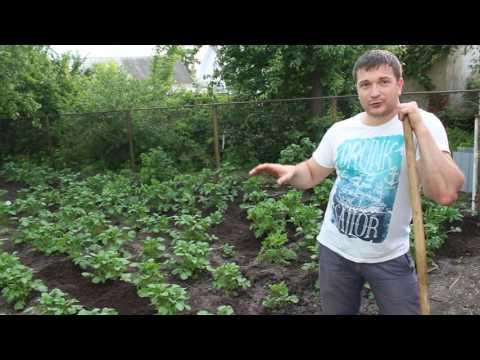 Как правильно окучивать картошку тяпкой видео