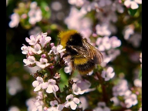 Annual flowers to attract Bee's to your garden