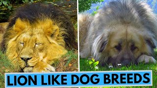 TOP 10 Lion Like Dog Breeds