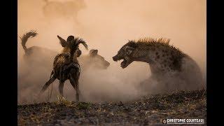 Поле битвы африканских хищников. Хищники Африки. Документальный фильм