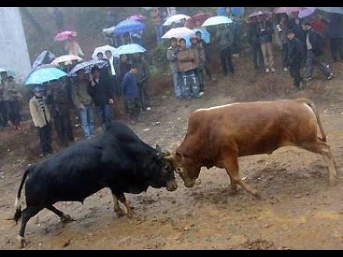 @Bulls# Fight #Haryana @Rohtak@ New Video@ This Week#