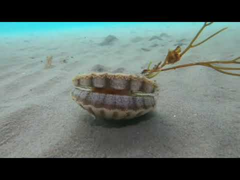 Mollusk on the Move: Freediver Spots Scallop Shuffling Across Seabed