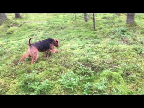 Welsh Terrier Tero at Work