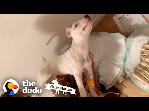 Pittie Puppy Who Couldn't Even Move Runs To Her Favorite Person | The Dodo Pittie Nation