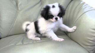 2011年6月15日生まれの狆の子犬です。 http://wanboh.net/item/japanese...