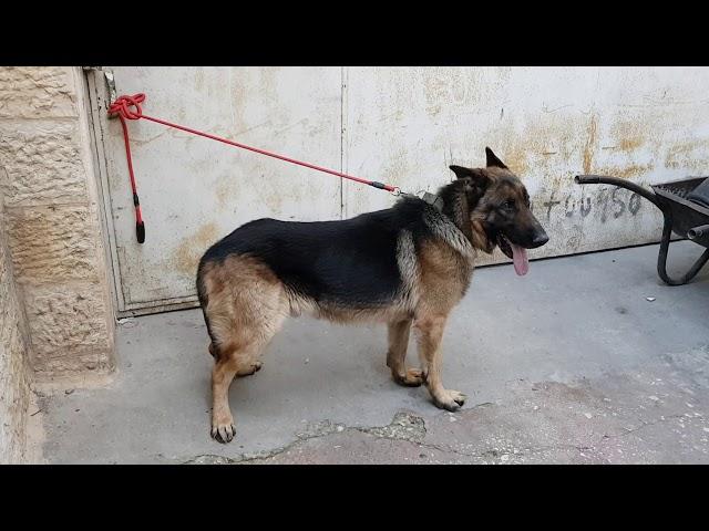 كلب جيرمن شيبرد اصلي قرر صاحبه الاستغناء عنه السبب مع جمال العمواسي