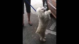 Tacha The Mini Poodle is an adoptable pet with Pet Rescue By Judy i...