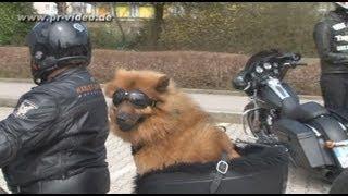 14.04.2013 - B 37 Neckargemünd - Motorradkontrolle - Highlight: Hund fährt als Sozius auf Harley