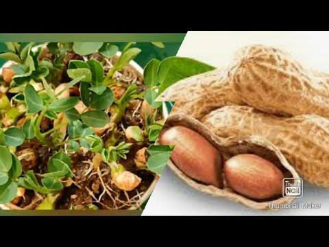 How to grow Peanuts Plant at home easily | Arachis hypogaea كيفية زراعة نبات الفول السوداني