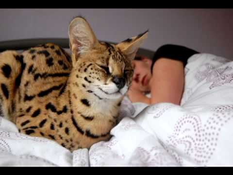 Savannah Cat TV - The first year of a serval life