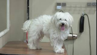 happy white maltese cute dog tongue sticking out friendly and smart