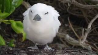 Midway Atoll White Tern Gygis alba Perching