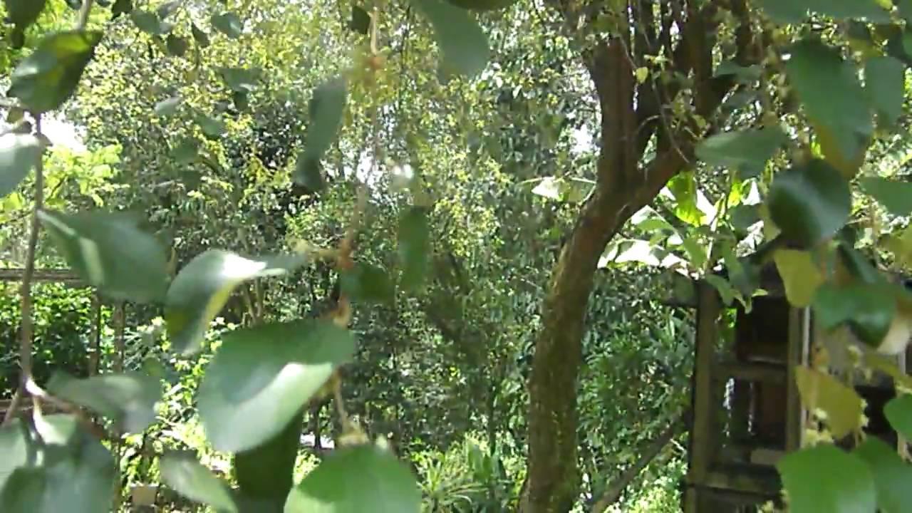 Pokok Bidara  Bidara Tree Bukit Serdang  YouTube