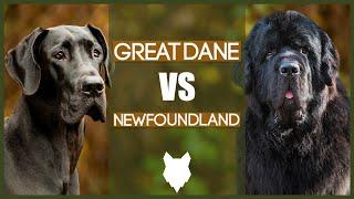 GREAT DANE VS NEWFOUNDLAND