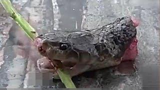 Về với tổ tiên khi bước qua cái đầu con rắn vừa đứt khỏi thân