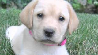 Loveable Labs | The Daily Puppy