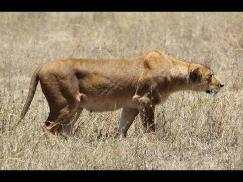Lioness stalking warthogs - YouTube  Lioness stalkin...