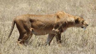 Lioness stalking warthogs