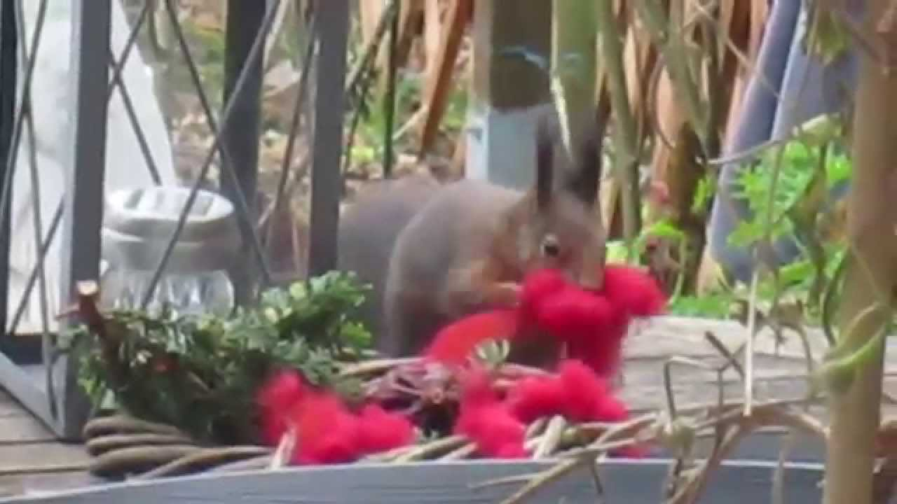 Eichhörnchen klaut Weihnachtsdeko - YouTube