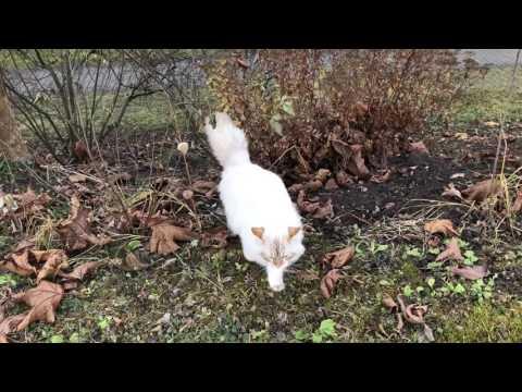 Siberian cat hunting birds