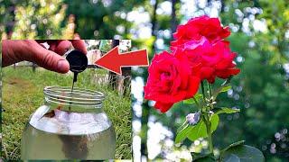 Розы будут цвести как в сказке после этой июльской подпитки! Чем подкормить розы в июле?