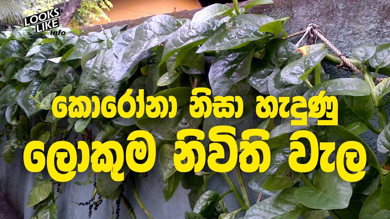 Spinach | කොරෝනා නිසා හැදුණු දිගම නිවිති වැල | Looks Like Info