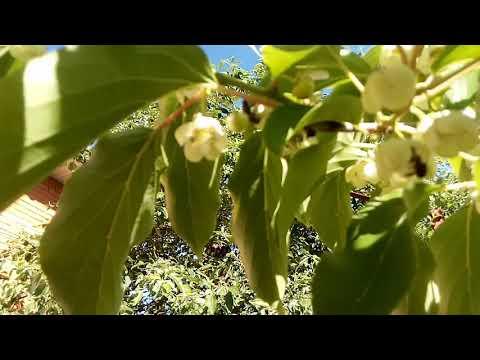 Как цветет актинидия