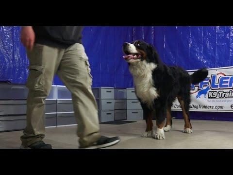 Best Dog Training in Columbus, Ohio! 2 Year Old Bernese Mountain Dog, Zeus!