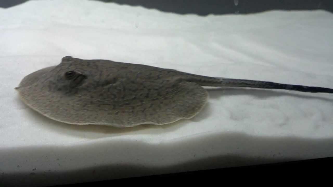 Freshwater Teacup Stingray