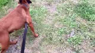 Emma Gunary Clicker Training. Aa Dog Rescue's Staff, Bailey. Lead Training, Calm, Slow, Instructions