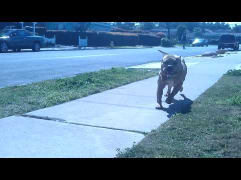 Scary pitbull attack american bully attack