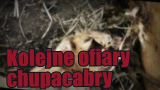 Chupacabra zabija kolejne zwierzęta rolne wHondurasie
