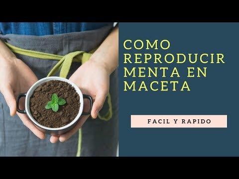 Como Reproducir Menta En Maceta 2020//cultivo de menta//plantar menta