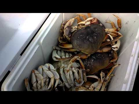 How To Catch Dungeness Crab From A Boat In The Bay.....crabbing Oregon