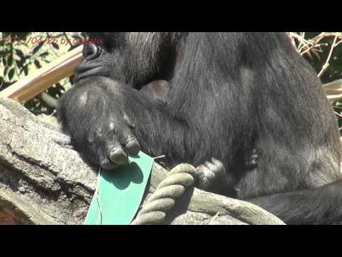 Japan Trip 2013 Tokyo Gorilla Momoko Baby was born! In Ueno Zoo.10